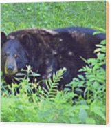 A Florida Black Bear Wood Print