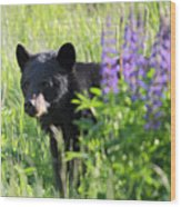 Black Bear Hiding Behind Lupines Wood Print