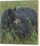 Black Bear Sow Wood Print