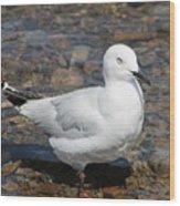 Black-billed Gull Wood Print