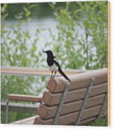 Black-billed Magpie Pica Hudsonia Wood Print