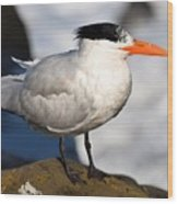 Black Crested Gull Wood Print