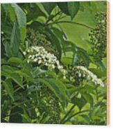 Black Elderberry - Sambucus Nigra_0261black Elderberry - Sambucus Nigra Wood Print