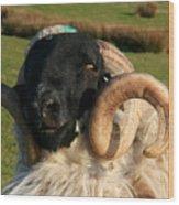 Black Faced Ram Wood Print