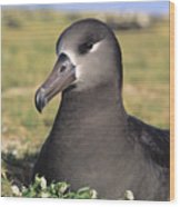 Black Footed Albatross Wood Print
