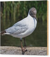 Black-headed Gull - Larus Ridibundus Wood Print