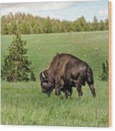 Black Hills Bull Bison Wood Print
