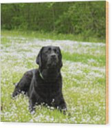 Black Lab Laying In A Field Wood Print
