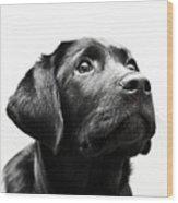 Black Labrador Retriever Potrait Wood Print