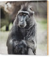 Black Macaque Monkey Sitting Wood Print