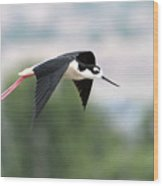 Black Necked Stilt In Flight Wood Print