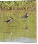 Black Necked Stilt, In The Pond In The Galapagos Wood Print