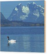Black Necked Swan On Last Hope Sound Chile Wood Print