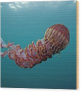 Black Sea Nettle Chrysaora Achlyos Wood Print