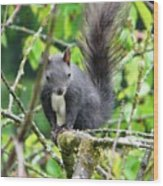 Black Squirrel In The Cherry Tree Wood Print