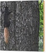 Black Squirrel With Blond Tail Two  Wood Print