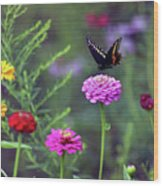 Black Swallowtail Butterfly In August  Wood Print