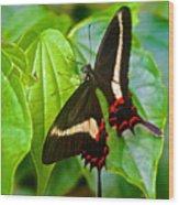Black Swallowtail Butterfly In Iguazu Falls National Park-brazil  Wood Print