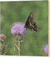 Spicebush Swallowtail Butterfly Wood Print