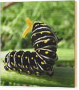 Black Swallowtail Caterpillar Wood Print