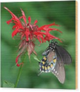 Black Swallowtail On Bee Balm Wood Print
