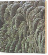Black Swan Feathers Wood Print