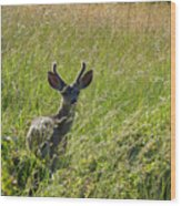 Black-tailed Deer In Tall Meadow Grass Wood Print