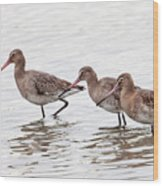 Black-tailed Godwits Wood Print