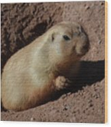 Black Tailed Prairie Dog Climbing Out Of A Hole Wood Print