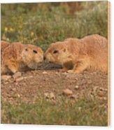 Black-tailed Prairie Dog Greeting Kiss Wood Print