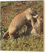 Black-tailed Prairie Dogs Wrestling Around Wood Print