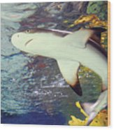 Black Tipped Reef Shark-1 Wood Print