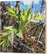 Black Walnut Spring Wood Print
