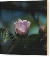 Blackberry Flower At Dusk Wood Print