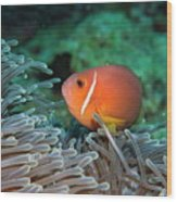 Blackfoot Anemonefish Hosted In A Magnificent Sea Anemone Wood Print