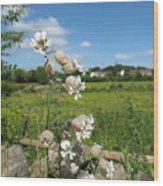Bladder Campion On Stone Wall Wood Print