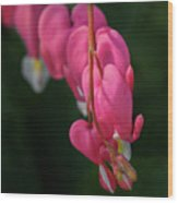Bleeding Hearts Flowers Wood Print