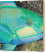 Bleekers Parrot Fish Wood Print