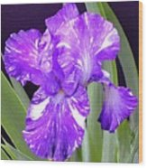 Blended Beauty - Bearded Iris Wood Print