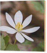 Bloodroot Wildflower Wood Print