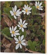 Bloodroot Wildflowers #1203 Wood Print