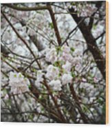 Blooming Apple Blossoms Wood Print