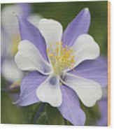 Blooming Columbine Wood Print