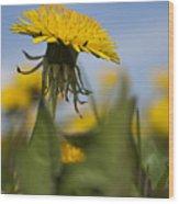 Blooming Dandelion Flower Wood Print