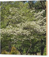 Blooming Dogwood Wood Print