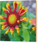 Blooming Gaillardia Wood Print
