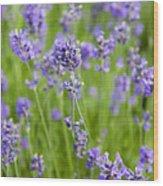 Blooming Lavendar Wood Print