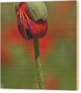 Blooming Orange Poppy Wood Print