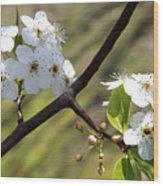 Blooming Pear Tree Wood Print