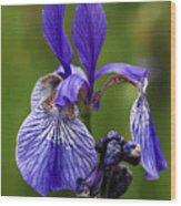 Blooming Purple Iris Wood Print
